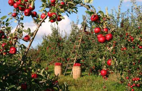 apple orchard for fairtrade