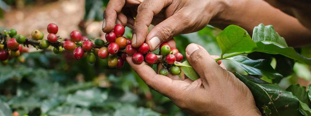 organic coffee cherries