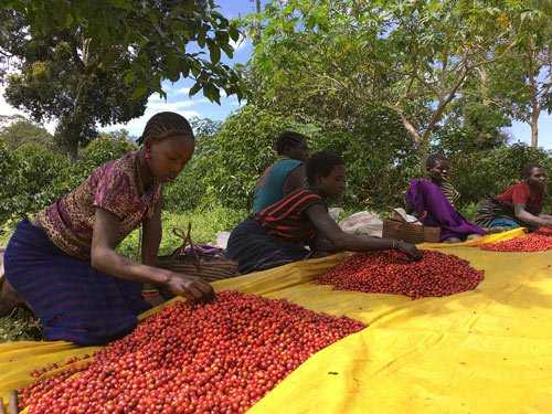 Farmers sorting coffee cherries for beans