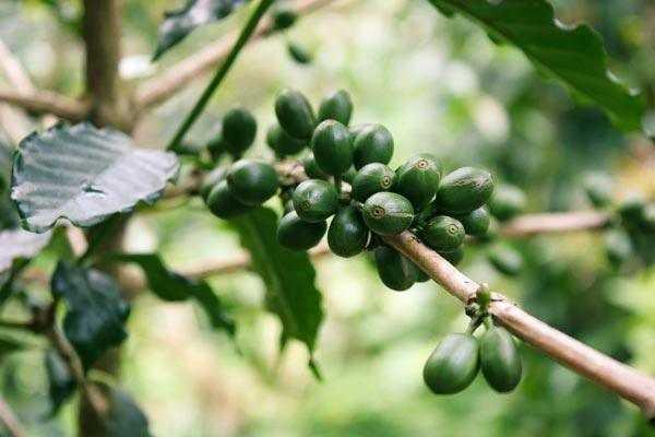 green coffee cherries on a tree
