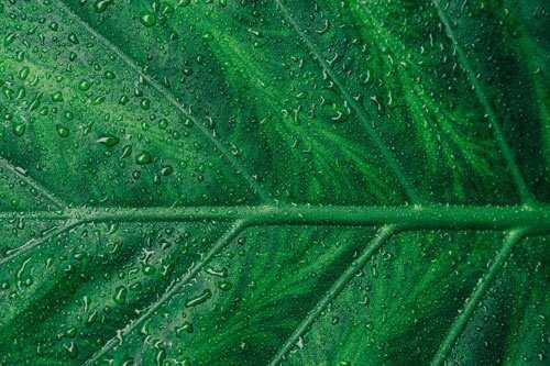 green tea leaf suppliers