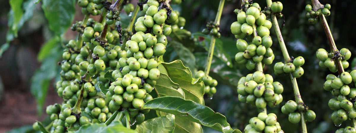 green unripe coffee beans