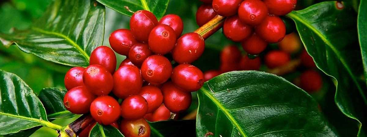 Coffee cherries for beans