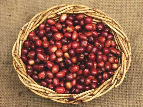red coffee cherries in basket