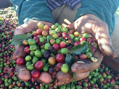 farmer holding coffee cherries