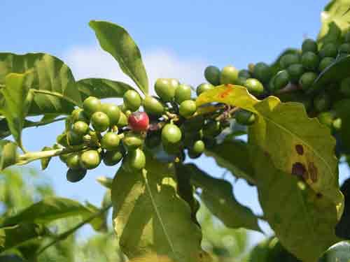 green coffee bean plant