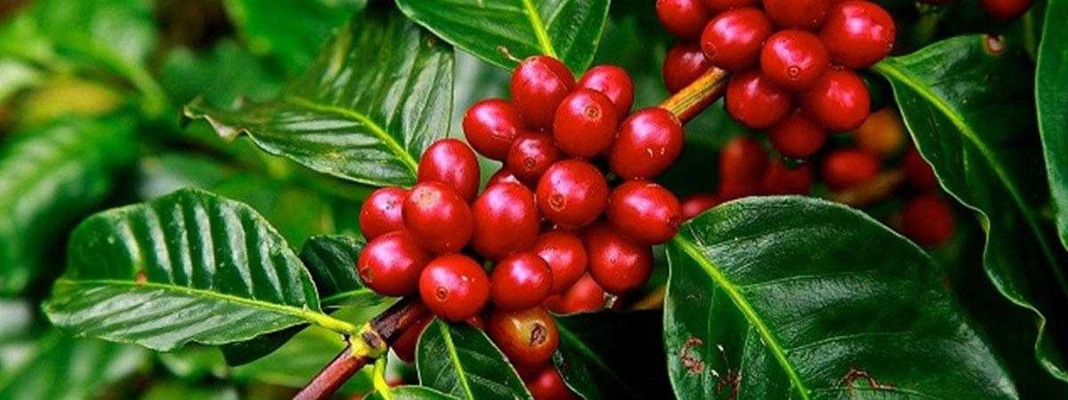 red coffee beans on plant