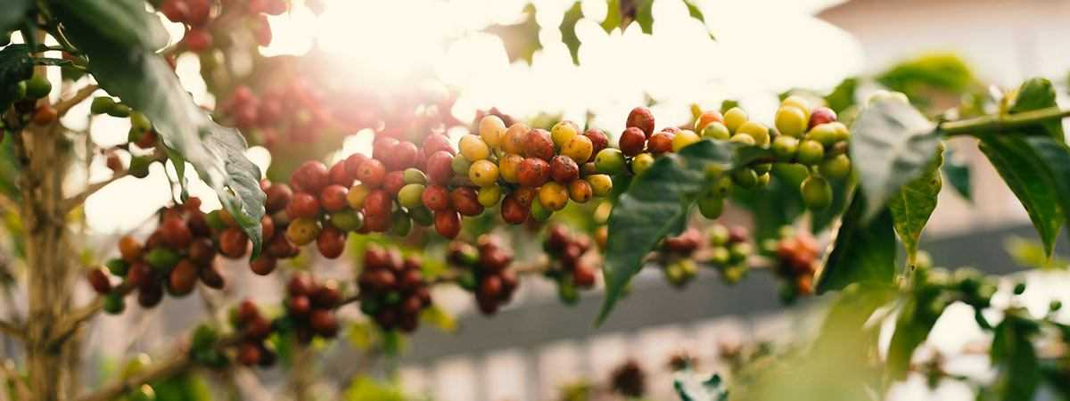 Arabica coffee cherries