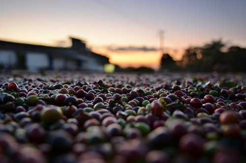 harvested coffee cherries drying in sun