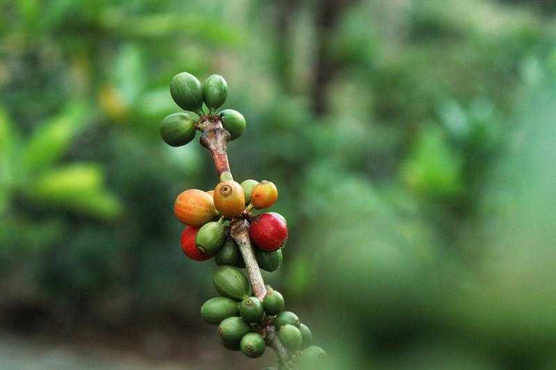 coffee cherries ripening on branch
