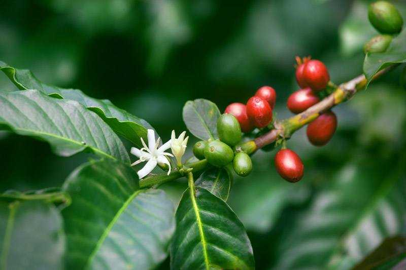 Coffee plant branch with cherries and flowers