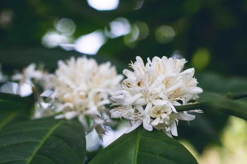 white flowers on coffee plant